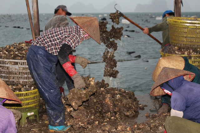 کوانگ نینگ: صدف شیر برای شیر کاهش می یابد به دلیل همه گیری COVID -19 ، ماهیگیران سفید در شب درو می کنند - عکس 4.