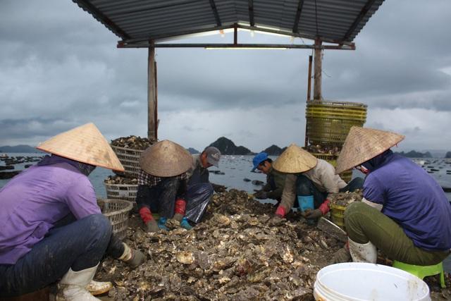 کوانگ نینگ: صدف شیر برای شیر کاهش می یابد به دلیل همه گیری COVID -19 ، ماهیگیران سفید در شب برداشت می کنند - عکس 7.