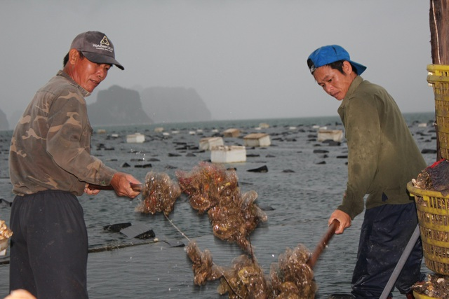 کوانگ نینگ: قیمت صدف به دلیل همه گیری کووید -19 کاهش یافته است ، ماهیگیران سفیدپوست در شب جمع شدند - عکس 13.