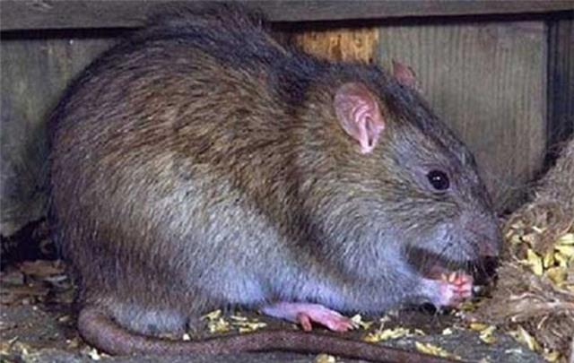 Rùng mình với đặc sản tăng cường sinh lực mà dân Việt phát kiến được làm từ bộ phận nhạy cảm của con chuột - Ảnh 2.