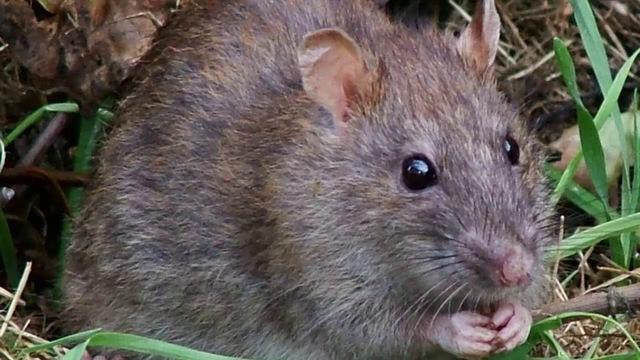 Rùng mình với đặc sản tăng cường sinh lực mà dân Việt phát kiến được làm từ bộ phận nhạy cảm của con chuột - Ảnh 1.