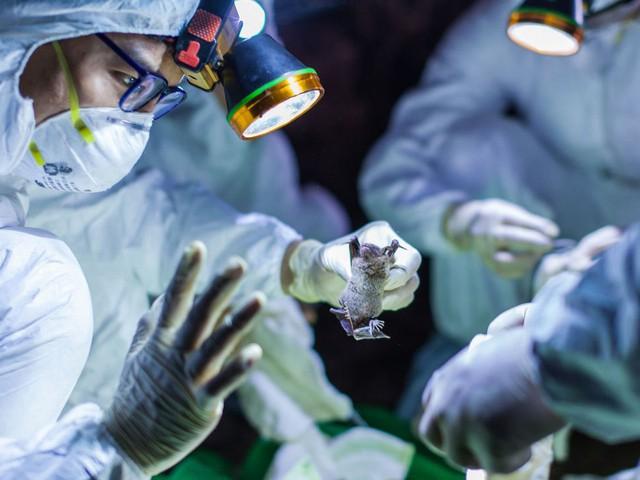 Điều tra nguồn gốc Covid-19: Trung Quốc phát hiện hơn 140 loại virus corona ở dơi nhưng đưa ra kết luận bất ngờ - Ảnh 2.