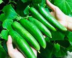 Mẹ Sài Gòn trồng 5 gốc dưa thu hoạch hơn 30 kg
