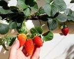 Vườn rau quả sạch tốt tươi rộng 32m² của nữ y tá đam mê trồng trọt