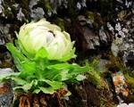 Loài hoa sen 7 năm nở một lần, giá 5 triệu đồng/bông nhưng dân Việt vẫn lùng mua vì tác dụng tăng cường sinh lực