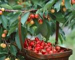 Vị thuốc quý từ hoa quả (3): Loại quả nhỏ xinh ngăn ngừa tiểu đường, giúp ngủ ngon
