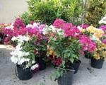 Cách trồng hoa giấy ngũ sắc cho ngôi nhà đẹp lung linh