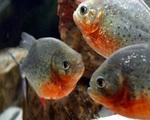 Loài cá cảnh đáng sợ đang được mua bán tràn lan ở Việt Nam có thể ăn thịt người