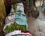 Hoài Đức, Hà Nội: Bị ảnh hưởng do dịch COVID-19, người nông dân bán cắt lỗ chỉ từ 5.000 đồng/kg rau
