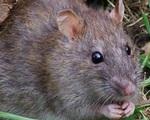 Rùng mình với đặc sản 'tăng cường sinh lực' mà dân Việt phát kiến được làm từ bộ phận nhạy cảm của con chuột