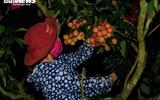 Ảnh: Người dân Bắc Giang soi đèn, xuyên đêm thu hoạch vải thiều