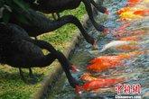Cảm động cảnh đàn thiên nga mớm mồi cho cá chép