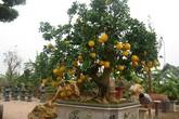 Vẻ đẹp hiếm có của bưởi cảnh trăm triệu ở Hà Nội