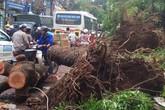 Sau mưa dông lịch sử, lại tranh cãi nên trồng cây gì trên đường phố Hà Nội