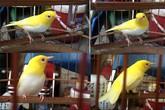 Chim hoàng khuyên đột biến gen: Tỷ phú Singapore mua không nổi