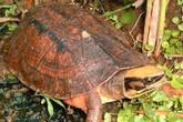 Thực hư tin đồn rùa vàng cả tỷ đồng một con