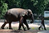 Trả tự do cho ba chú voi ở vườn thú Hà Nội