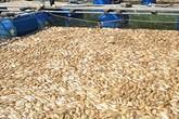 """""""Choáng"""" với hình ảnh 20 tấn cá chết trắng trong lồng ở Đà Nẵng"""