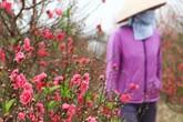 Người trồng đào Nhật Tân khốn đốn vì hoa nở bung trong nắng ấm