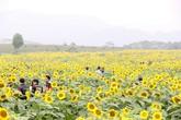 Nghìn người đổ xô đến đồi hoa hướng dương bên đường mòn Hồ Chí Minh
