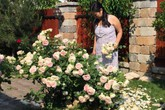 Vườn nhà rực rỡ hoa hồng suốt 20 năm