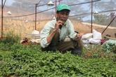 Trồng 100m2 rau rừng, thu hơn 40 triệu đồng một năm
