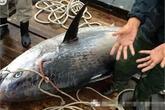 Bắt được cá mú khổng lồ dài gần 2m gây choáng
