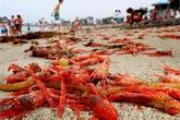 Bãi biển Mỹ đỏ rực vì cua chết rải thảm
