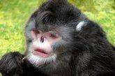 5 loài khỉ kì lạ nhất thế giới
