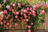 Bí quyết trồng hoa hồng leo ngát hương trên ban công