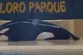 Chú cá voi tự tử do không chịu nổi cuộc sống cầm tù