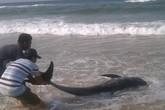 Cá voi trên 100kg chết bất thường trôi dạt vào bờ biển Thừa Thiên - Huế