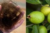 Bài thuốc ngăn rụng tóc với nắm lá ổi