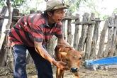 Người dân bất lực nhìn hàng trăm con bò chết vì đại hạn