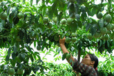 Nông dân chặt cây cà phê trồng chanh cho thương lái Trung Quốc