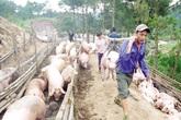 """Lợn hơi Hà Nội rớt giá: Người nuôi lao đao vì chạy theo """"sốt ảo"""""""