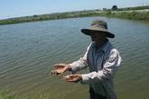 Thừa Thiên Huế: Nắng nóng, tôm nuôi chết hàng loạt