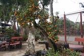Ghép quất vào gốc cây dại bán 30 triệu/cây