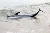 Cá heo nặng 200kg dạt vào bờ biển Đà Nẵng