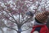 Ngắm hoa anh đào Nhật Bản khoe sắc trong mưa lạnh buốt ở Sapa
