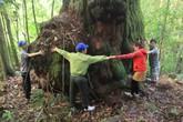 Vẻ đẹp kỳ thú của 725 cây pơmu Di sản Việt Nam giữa đại ngàn