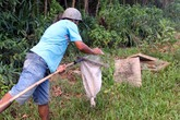 Kiếm tiền triệu mỗi tháng nhờ săn trứng kiến