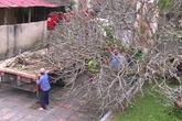 """Bí ẩn thông tin cây sứ trăm tuổi ở Đại Nội Huế bị đào, mang đi tặng """"sếp"""""""