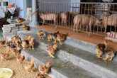 """Phù Cừ (Hưng Yên): Bị kịch ở nơi """"vật nuôi lên ở nhà to, ông chủ xuống nằm chuồng lợn"""""""