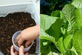 Học cách trồng rau cải xanh trong thùng xốp nhanh cho thu hoạch
