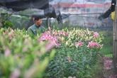 Hà Nội: Hoa ly nở sớm, dân lo không có hoa bán Tết