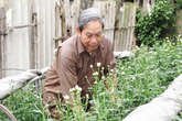 Gặp lão nông trồng hoa cuối cùng của làng hoa nức tiếng kinh thành