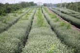 Hà Nội: Mùa cúc hoạ mi, nông dân Nhật Tân thu về cả trăm triệu