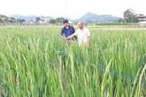Bỏ rau sạch, trồng hoa thu nhập 400-500 triệu đồng mỗi năm