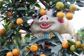 Quất bonsai ngự lưng heo vàng bán Tết Kỷ Hợi giá cao ngất ngưởng nhưng vẫn hút khách